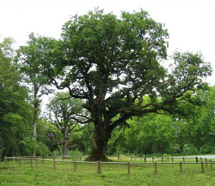 дерево венге