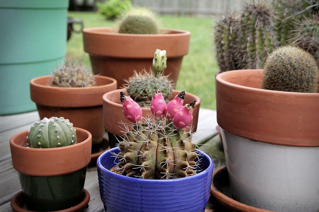 момент рождения фотогалерея домашних кактусов фотографии, продемонстрированной