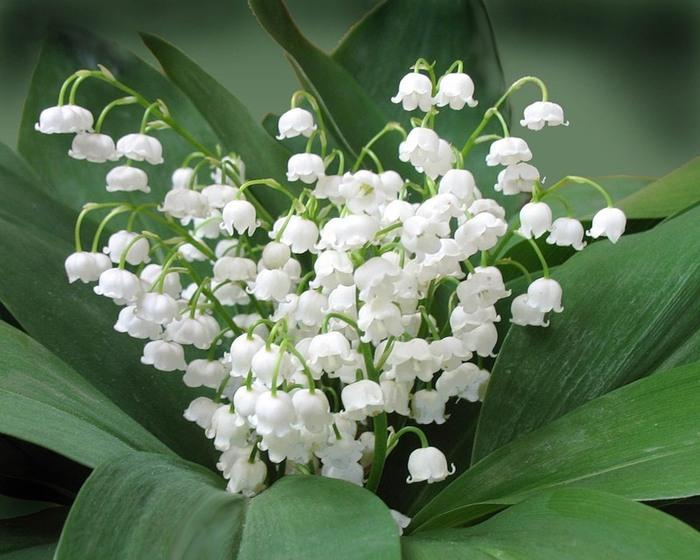 Мои первые цветы ландыши