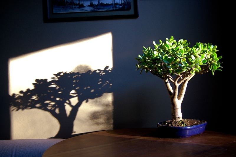 Комнатное денежное дерево. Выращивание и уход.