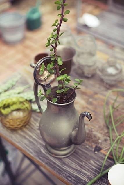 Денежное дерево: Уход в домашних условиях