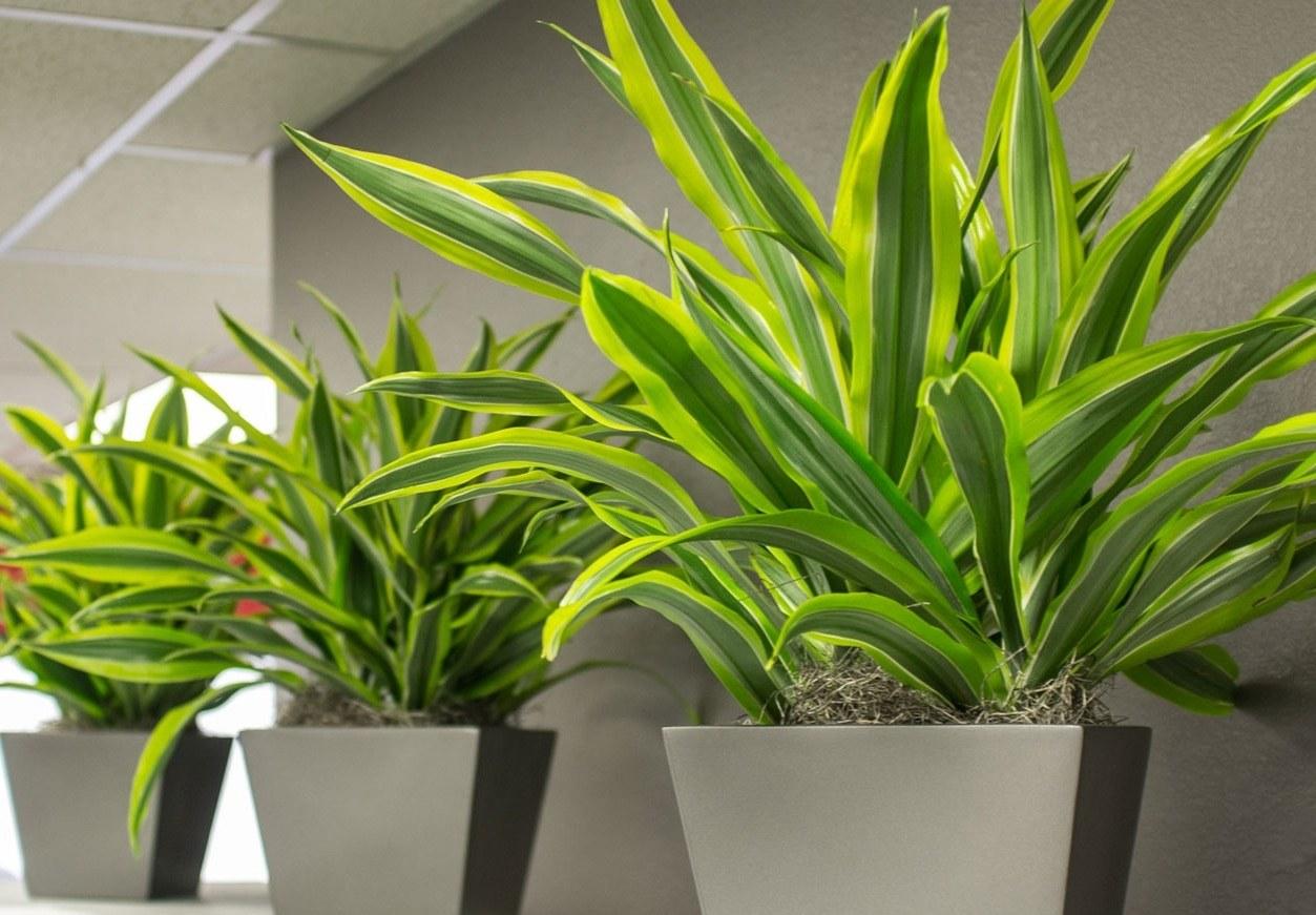Панданус цветок 100 фото: уход, температура, полив, подкормка