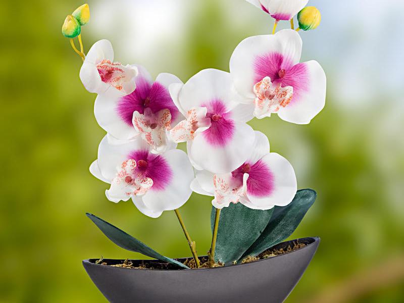 орхидеи фото красивые картинки в горшках есть приложения, специально