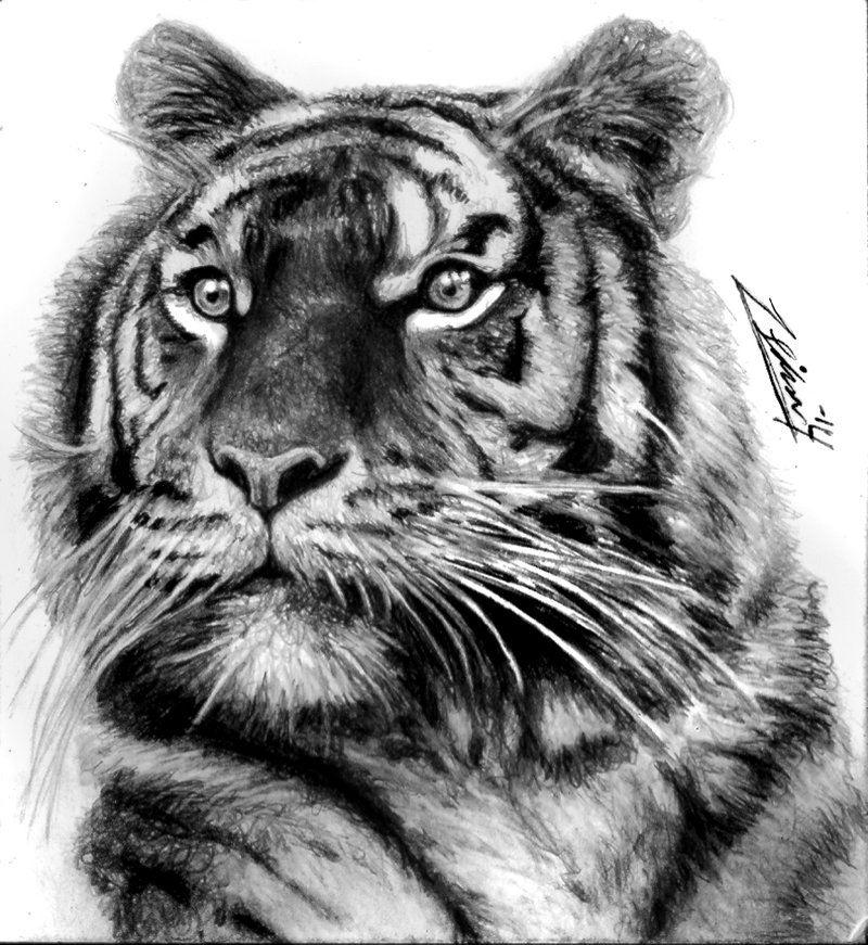 тигр тату эскиз картинки решение купить