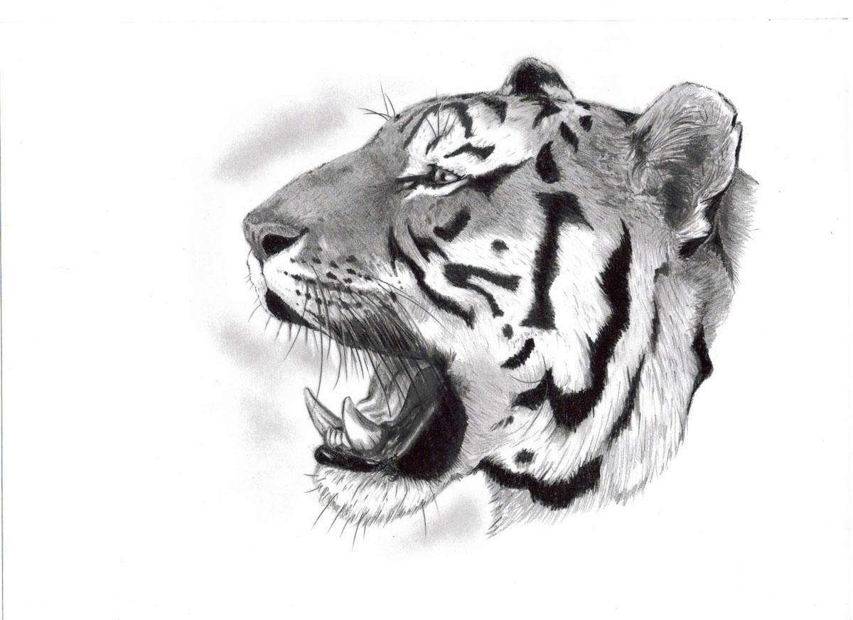 эскиз оскал тигра на плечо