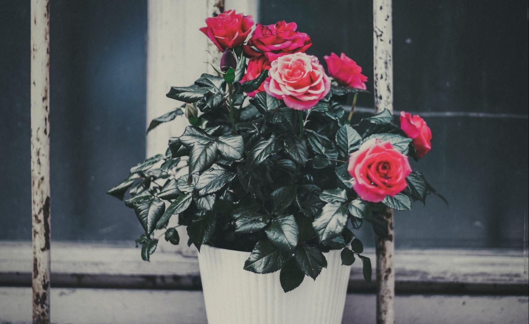 Купили розу в горшке как ухаживать