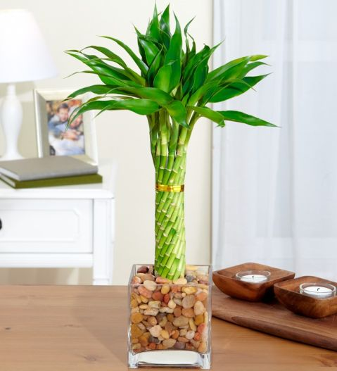 Бамбук уход в домашних условиях фото