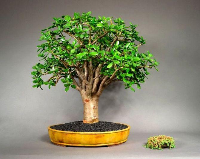 Как сделать в домашних условиях денежное дерево