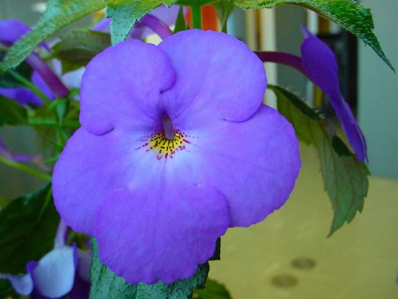 Что за цветок ахименес фото
