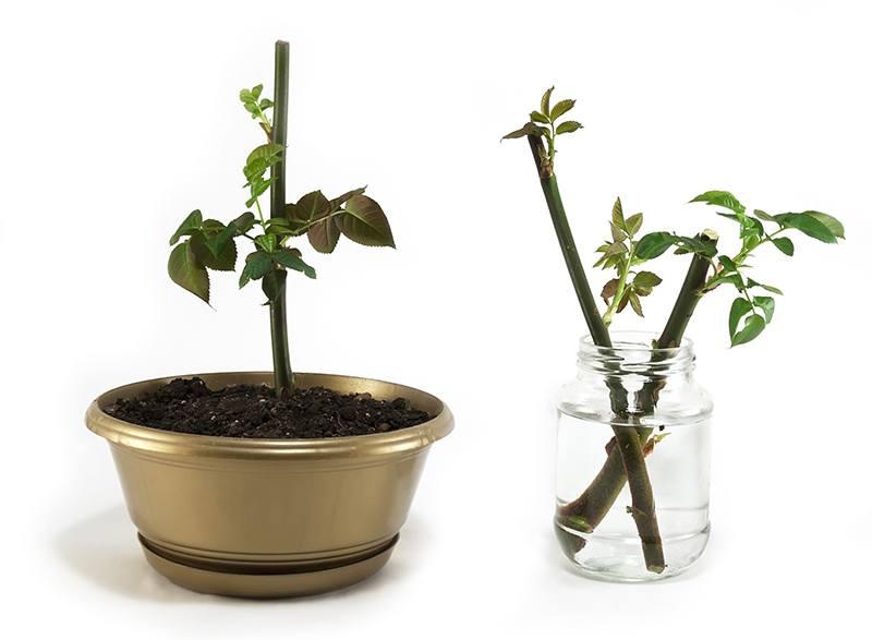 Размножение и уход за розой в домашних условиях 237